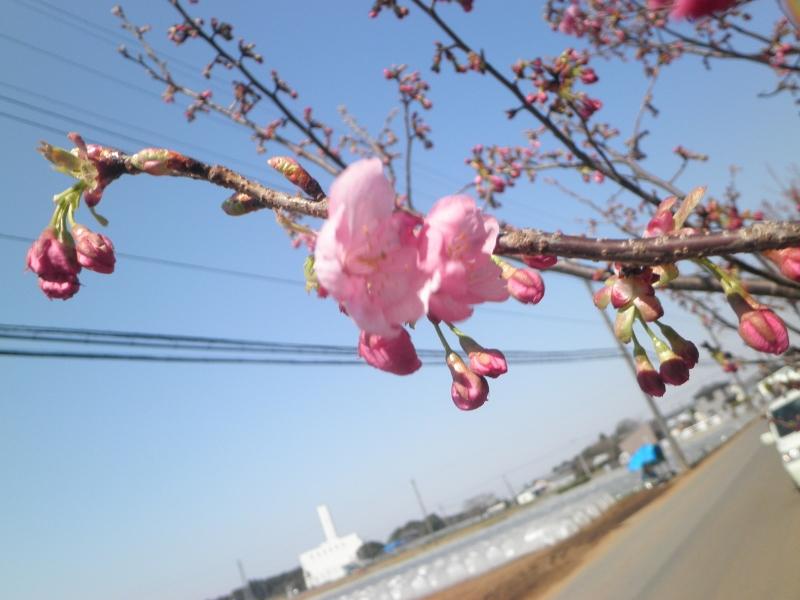 桜 (800x600)