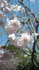 しだれ桜 (169x300)
