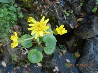 ツワブキ 開花
