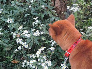 野菊と蘭さん_R