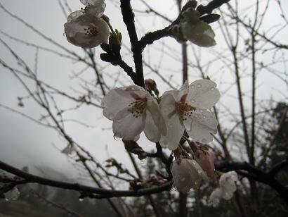 4/8 ソメイヨシノ