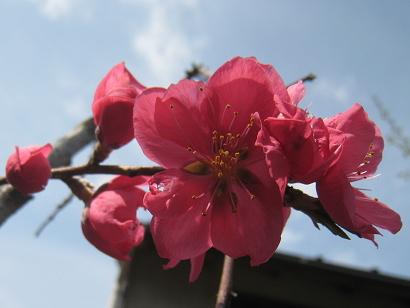 4/16 枝垂れ源平桃