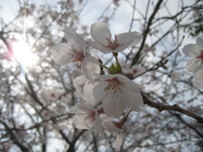 4/16 ソメイヨシノ