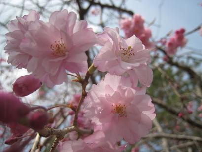 4/16 枝垂れの八重桜