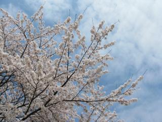 2011年4月18日 桜1