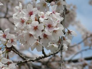 2011年4月18日 桜2