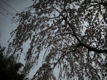 sakura_1.jpg