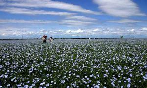 flax-field.jpg