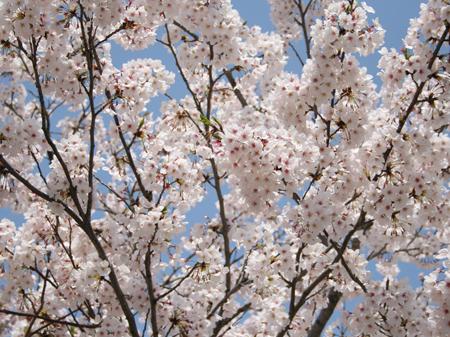 桜の写真「九反田」