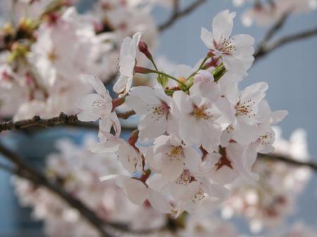 桜の写真「高知」