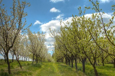 plum-trees-orchard