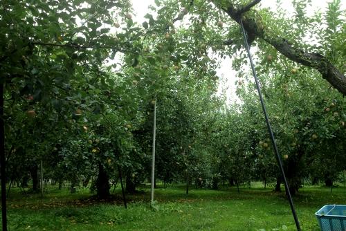 261001 リンゴ園2