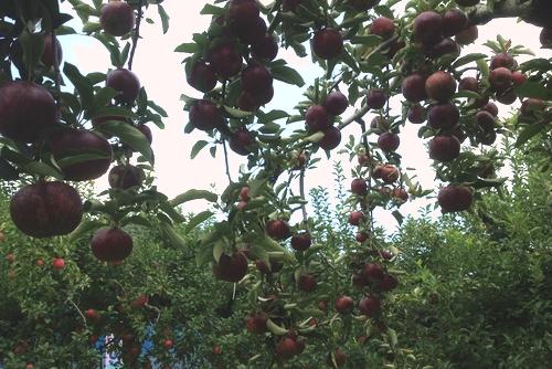 261001 リンゴ園5