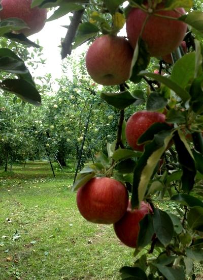 261001 リンゴ園3