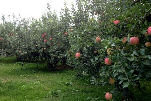 261001 リンゴ園4
