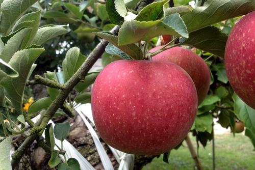 261001 リンゴ園6