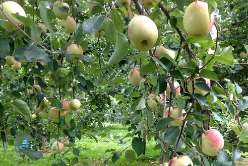 261001 リンゴ園7
