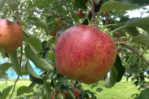 261001 リンゴ園9
