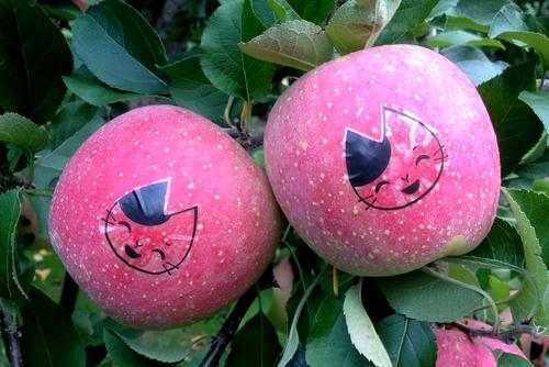 261001 リンゴ園10