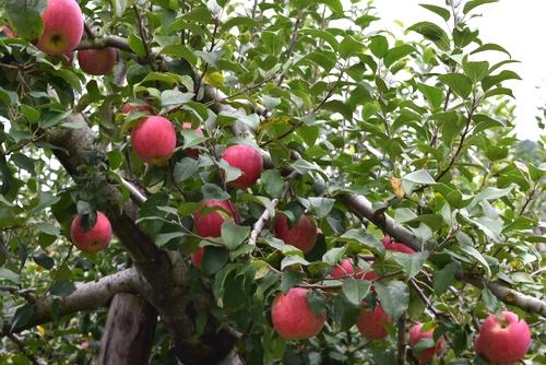 261001 リンゴ園8