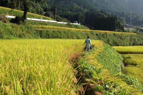 261004 稲刈り1