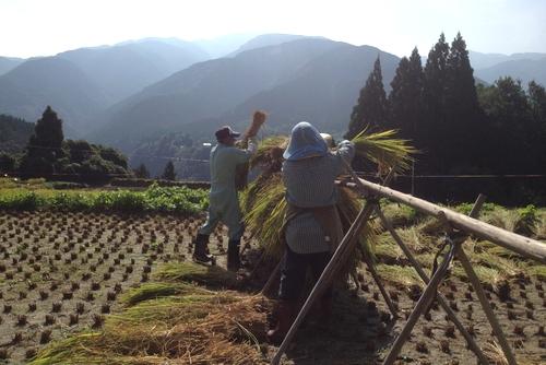 261004 稲刈り3