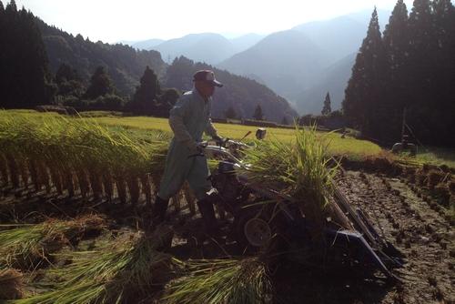 261004 稲刈り2
