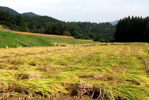 261004 稲刈り18