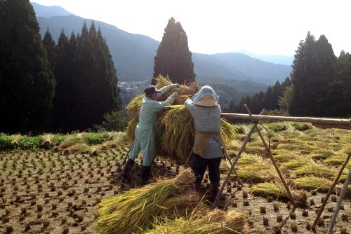 261004 稲刈り20