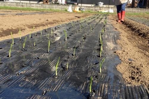 261010 野菜作り2