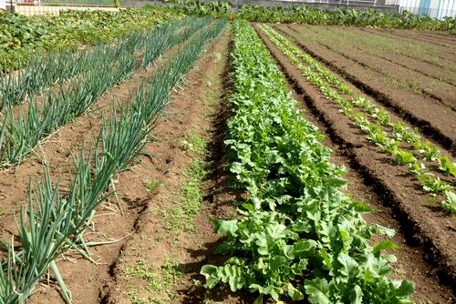 261010 野菜作り8