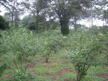 たくさんのブルーベリーの木