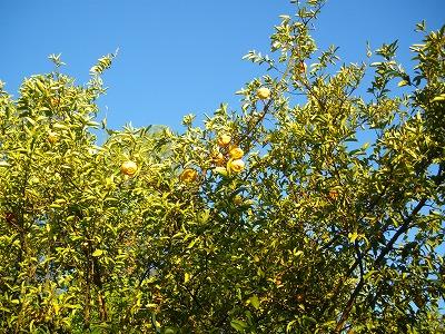 レモンの木2