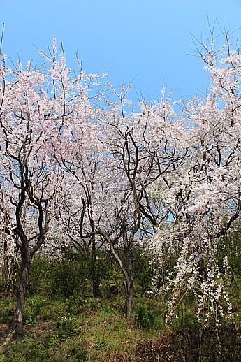 枝垂れ桜①