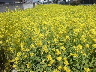 近所の菜の花