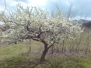 伊香保の白い桜?