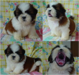 JKC・CHフェイスの前胎犬。