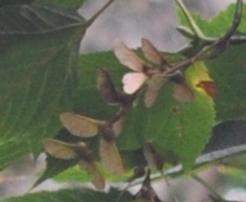 ウリハダカエデ種 3