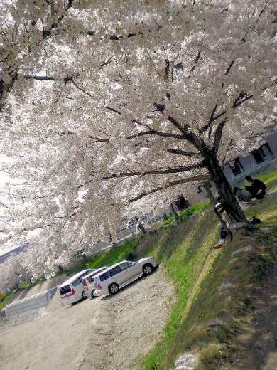 2011年須惠川土手の桜