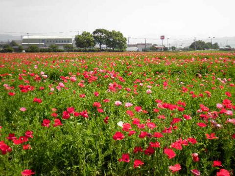 キリンビール甘木工場のポピー畑