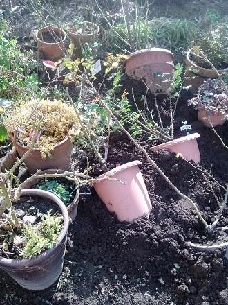 越冬鉢達。