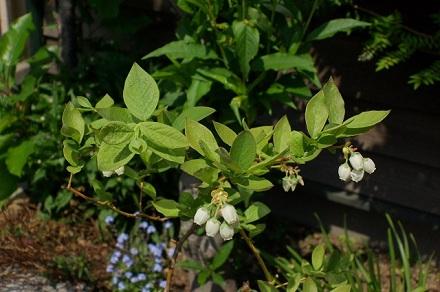 ブルーベリーりのお花。