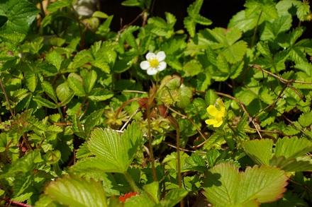 ワイルドストロベリーのお花。