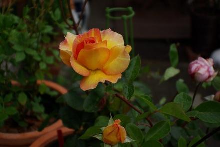 ラ・パリジェンヌも咲きました♪