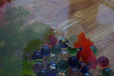 真っ赤な金魚♪