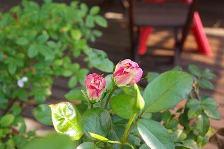 二番花…蕾。