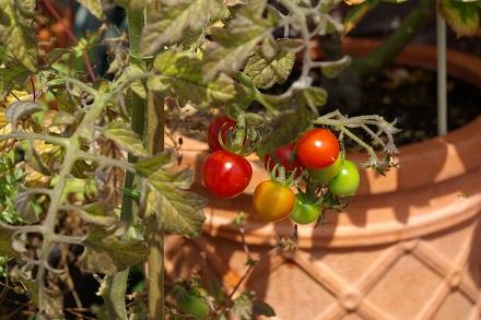 マイクロトマト…。