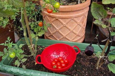 トマト収穫★