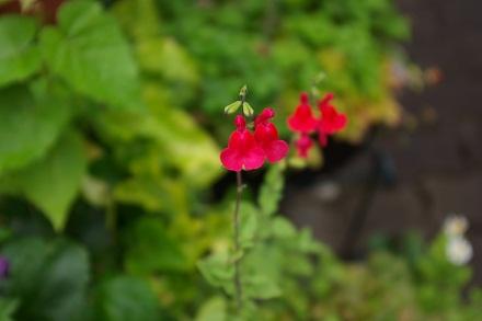 可愛いチェリーセージのお花
