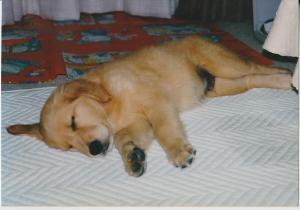 アルフ子犬